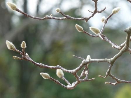 森の交流センター モクレンの花芽