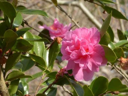 森の交流センター 山茶花