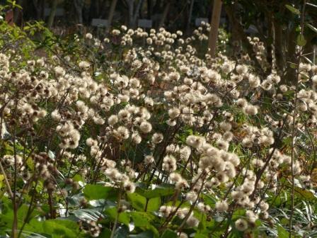 森の交流センター ツワブキの綿毛