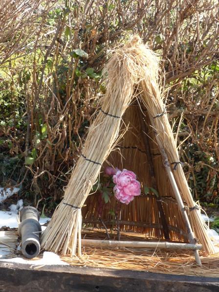 井内牡丹園 (ぼたん茶屋) 冬牡丹 2