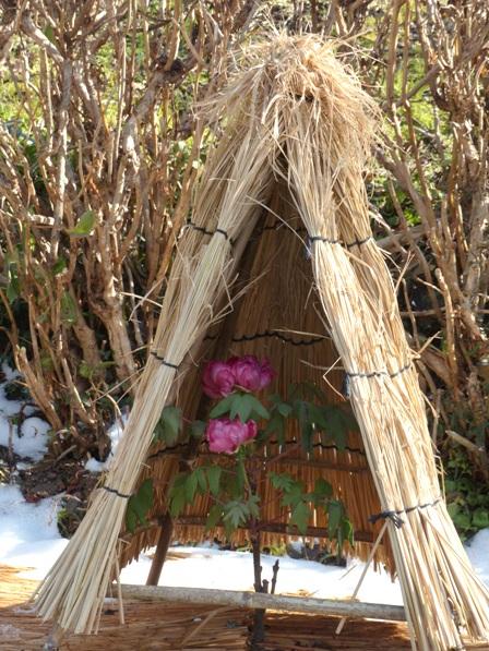 井内牡丹園 (ぼたん茶屋) 冬牡丹 4
