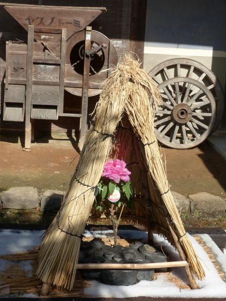 井内牡丹園 (ぼたん茶屋) 冬牡丹 7