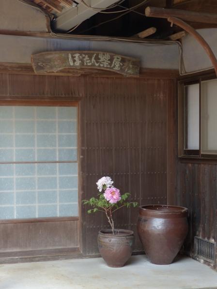 井内牡丹園 (ぼたん茶屋) 冬牡丹 8