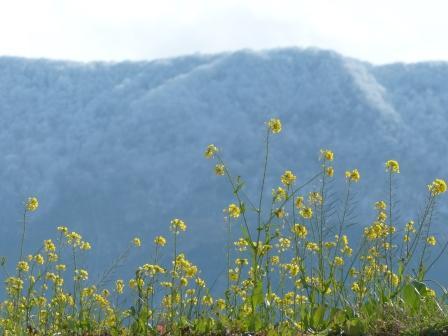 雪の山 と 菜の花 1