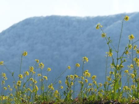 雪の山 と 菜の花 2