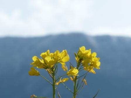 雪の山 と 菜の花 3