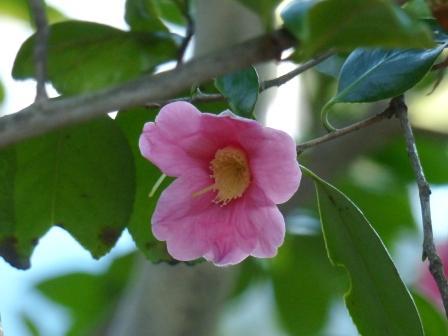 松山総合公園 椿 尾張侘助 1