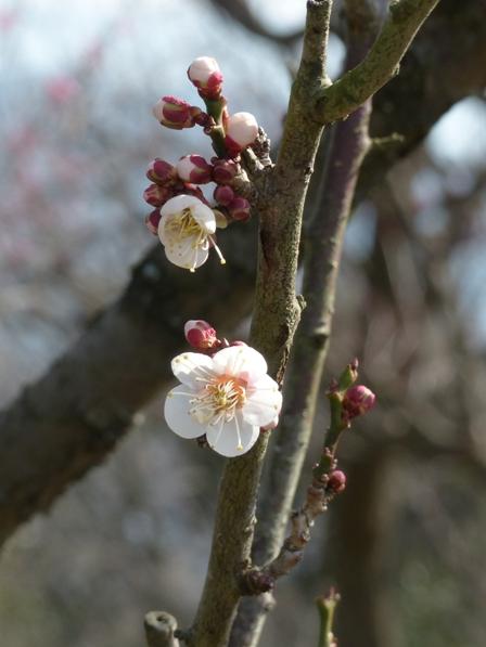 松山総合公園 梅 白梅 1