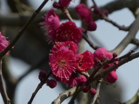 松山総合公園 梅 鹿児島紅 2