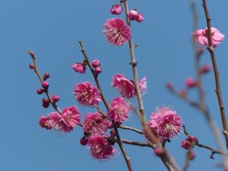 松山総合公園 梅 寒紅梅 3