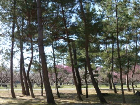 志島ヶ原 松林 1