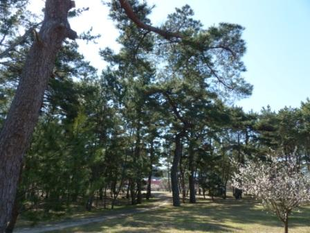 志島ヶ原 松林 2