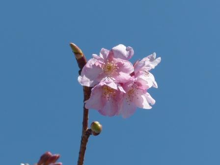 サンライズ糸山 河津桜 6