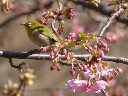 河津桜 & メジロ 5