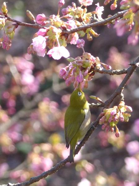 河津桜 & メジロ 9