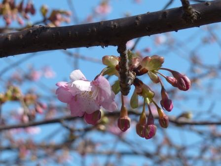 サンライズ糸山 河津桜 7