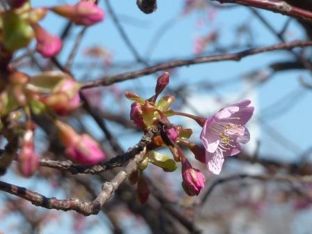 サンライズ糸山 河津桜 8