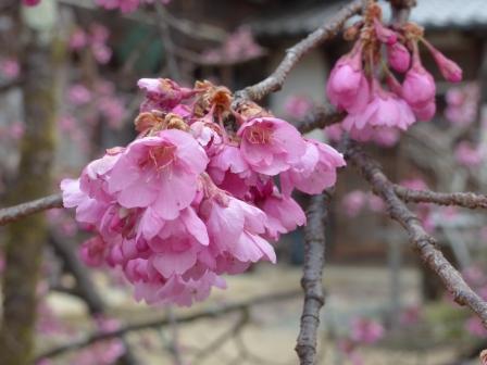 孝子桜 3