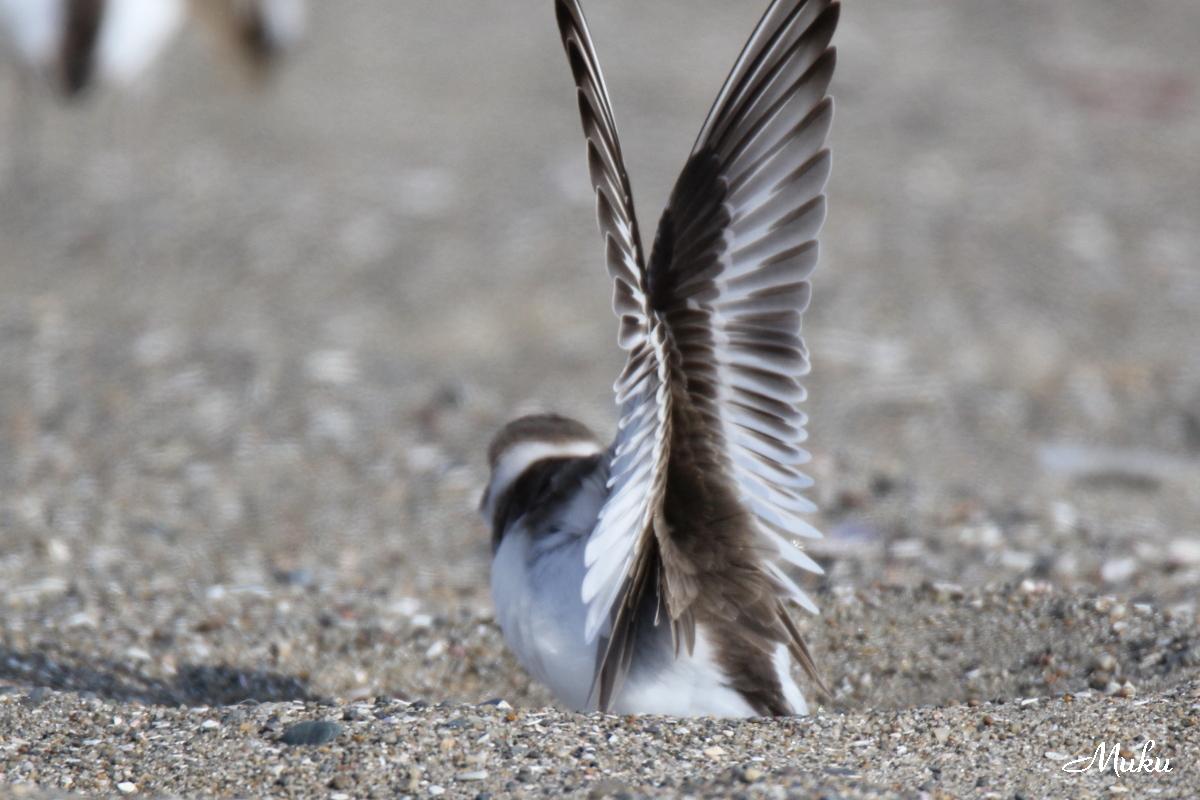 シロチドリ(雌)