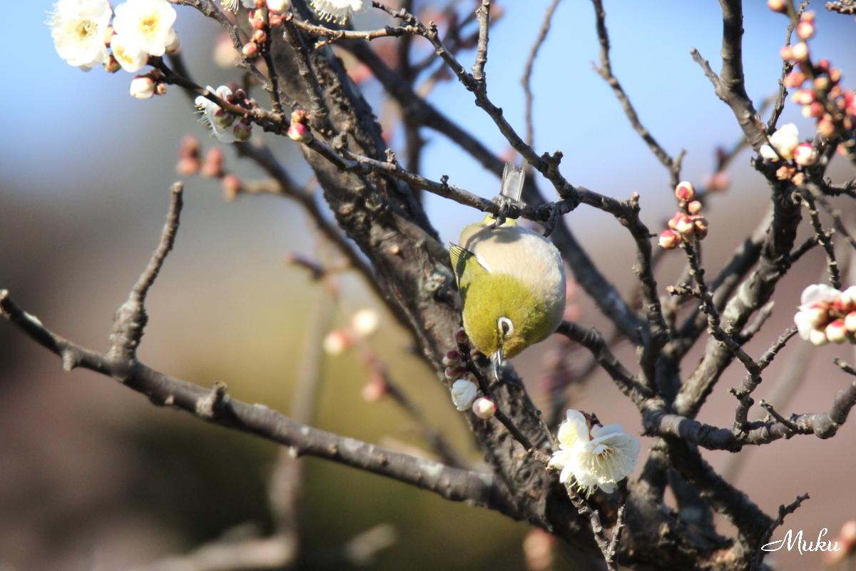 梅に目白 2016.1.9