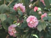 椿祭り2016-02-28-0037