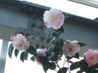 椿祭り2016-02-28-0069
