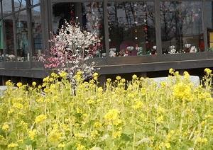 ⑥花久の里 菜の花