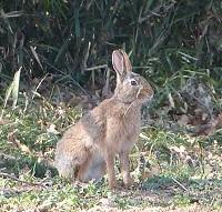 野ウサギ①20130315