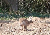 野ウサギ②20130315