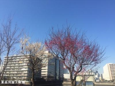 umeshiro2.jpg