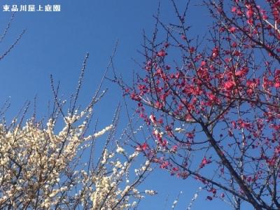 umeshiro3.jpg