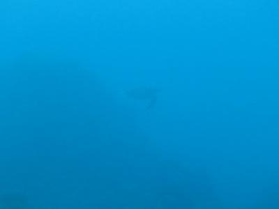 11-16 ウミガメ