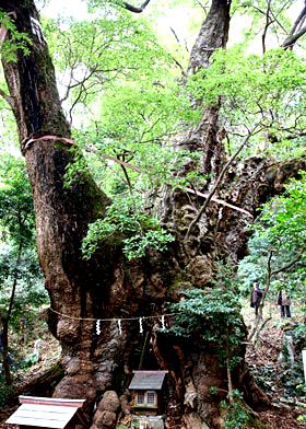 クスノキの神木(静岡県伊東葛見神社)