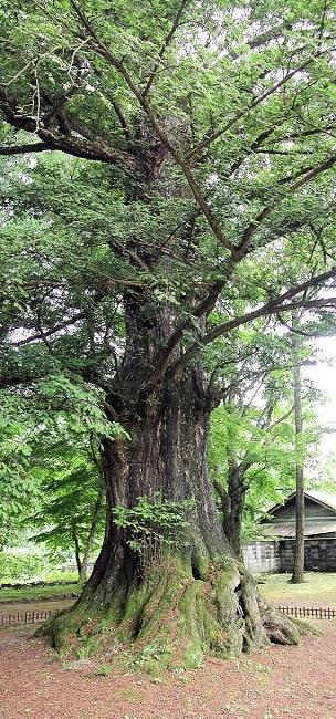 カヤの巨木(茨城県久慈郡法龍寺)