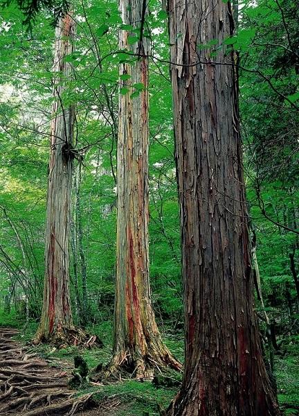 ヒノキの森