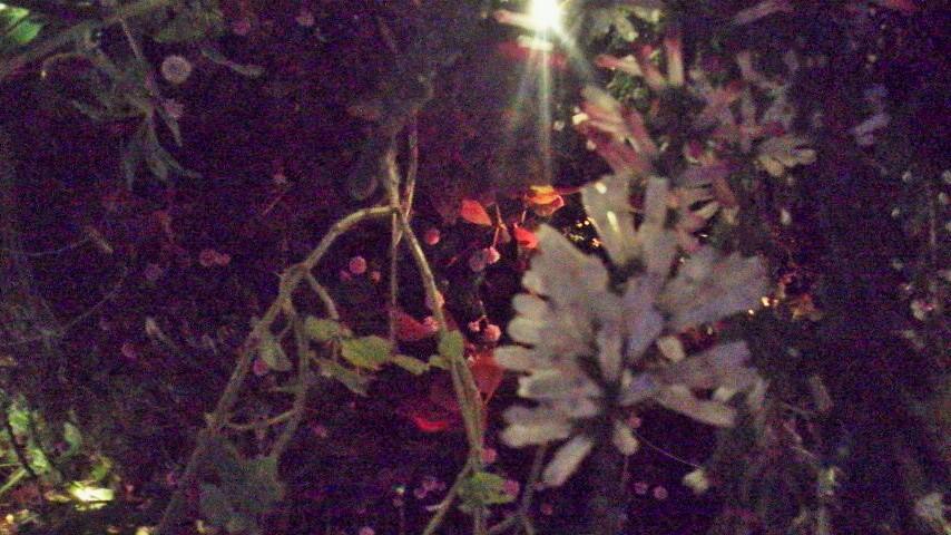 P1000046night flower
