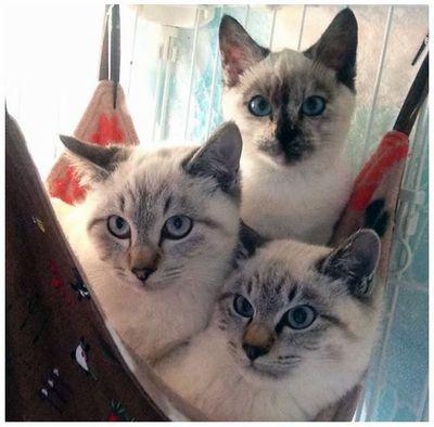 シャムミックス3姉妹