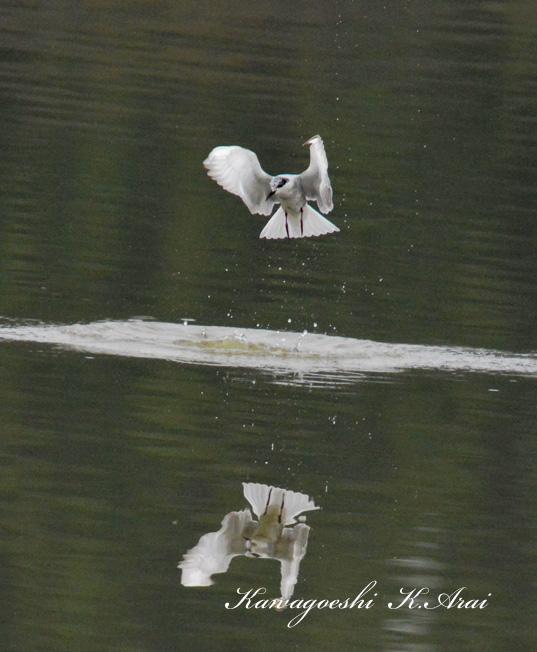 クロハラアジサシ