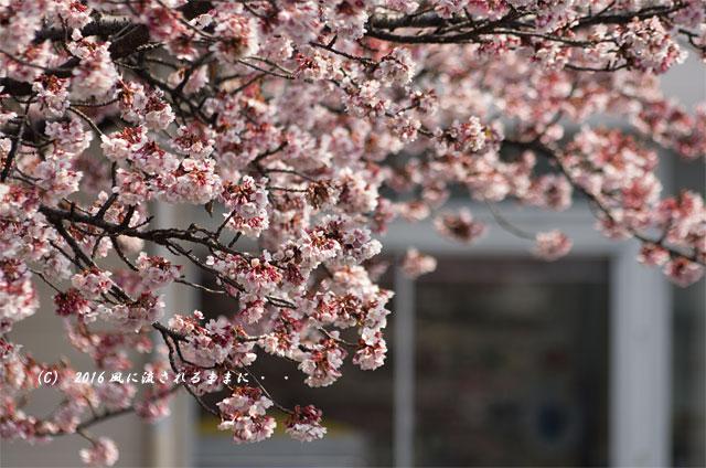 2016年2月27日撮影 京都・JR桃山駅 河津桜6