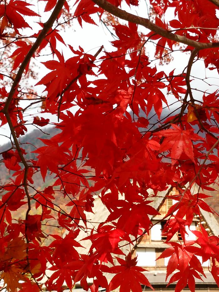晩秋の紅葉~初冬は雪化粧など四季それぞれに変化する白川郷の表情も魅力的 ①