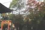 宇治神社の紅葉1
