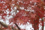 天龍寺の紅葉3