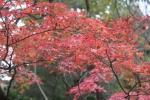 龍安寺の紅葉2