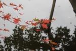龍安寺の紅葉4