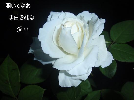 開いてなおま白きバラ