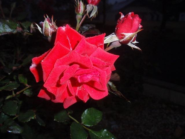 夜露が輝く薔薇