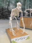 オランウータン骨