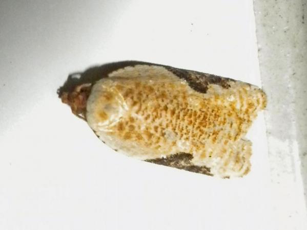 ヒメサザナミハマキ
