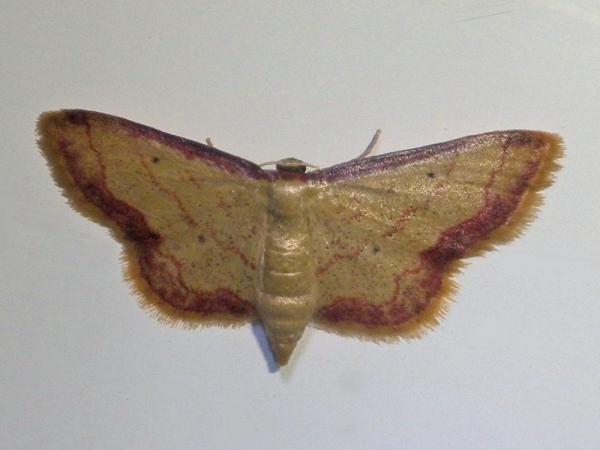 フチベニヒメシャク