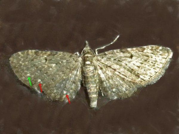 シロテンカバナミシャク